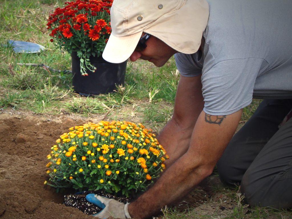 James planting Mums